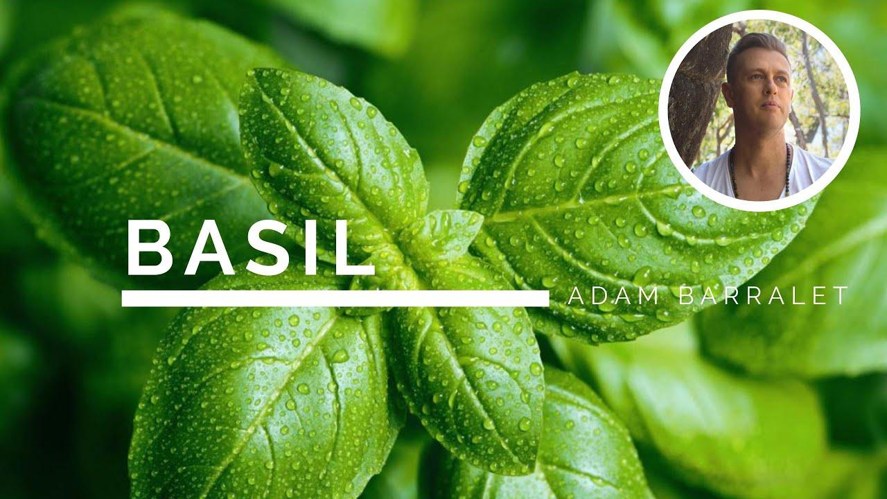 Basil - The Oil of Devotion
