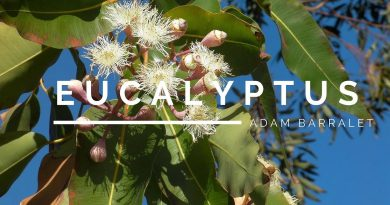 Eucalyptus - The Oil of Life's Breadth