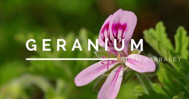Geranium - The Oil of Balance