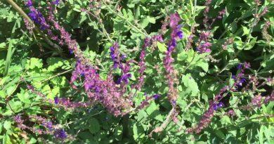 Purple Rain - Whorled Clary Sage cultivar