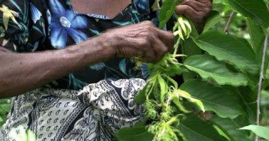 Comoros' ylang ylang - the flower that revolutionised perfume