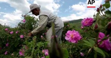 Harvest time for Bulgaria's blooming rose oil industry
