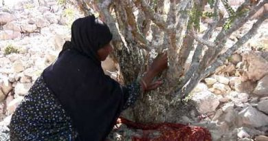 Frankincense: Harvesting   Young Living Essential Oils