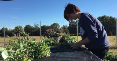 Harvesting and Distilling Holy Basil Essential Oil!