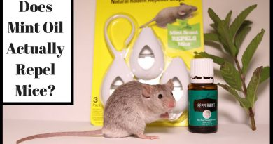 Does Mint Oil Actually Repel Mice?  Let's Test It Out With Real Mice.