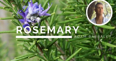 Rosemary - The Oil of Remembrance