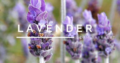 Lavender - The Oil of Contemplation