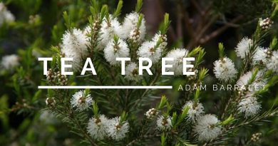 Tea Tree - The Oil of the True Heart