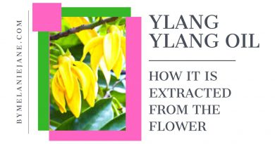 How Ylang-Ylang Oil is extracted