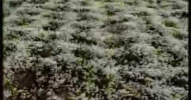Camomile Harvest and Distillation