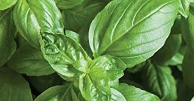 How to Make Basil Oil 2020