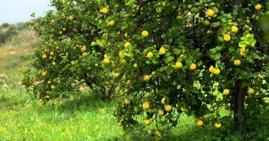 doTERRA® Lemon Oil Uses and Benefits