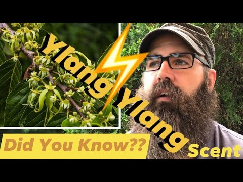 What is the Ylang Ylang Scent?